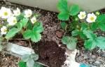 Борьба за урожай клубники весной, видео