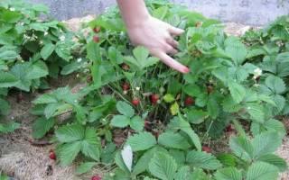 Земляника Барон Солемахер — описание сорта с фото, выращивание из семян, видео