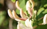 Обрезка жимолости в период неполного и полного плодоношения, аидео