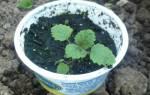 Мята — тонкости высева семян для получения рассады, правила ухода, видео