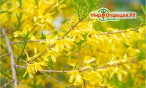Желтые растения в саду, обзор видов кустарников с желтой листвой, видео