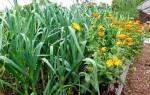 Календула от вредителей на огороде: полезные смешанные посадки, видео
