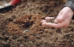 Посадка кабачков в открытый грунт — подготовка почвы, сроки, видео