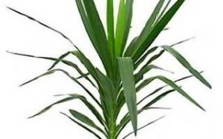 Болезни юкки и их лечение, чем помочь растению, правила ухода, видео