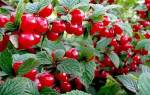 Голубика садовая — королева среди плодово-ягодных кустарников — Glav-Dacha.ru