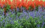 Фото и описание сортов сальвии для ландшафтного дизайна, видео