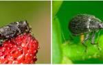 Борьба с долгоносиком — обработка сада и грядок, видео
