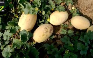 Выращивание ультраранней дыни Дакаро, видео