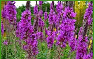 Выращивание дербенника из семян — посадка и уход, видео