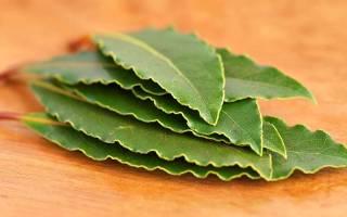 Лечебные свойства лаврового листа — настойка, отвар, масло, видео