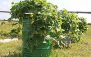 Способы выращивания огурцов — в мешках, бочке, бутылках