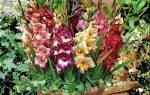 Гладиолусы в горшках — посадка и уход, высадка в марте, как выращивать в горшках на улице, видео
