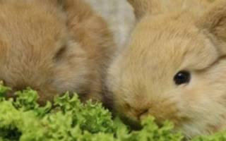 Как ухаживать за декоративными кроликами, их рацион, видео