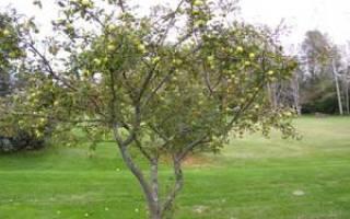 Прививка плодовых деревьев видео мастер-класс по прививке плодовых деревьев, лучшие способы прививки видео