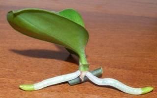 Орхидея — размножение, отделение детки с корнями и посадка, видео