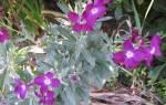 Выращивание левкоев из семян, посев на рассаду и в открытый грунт