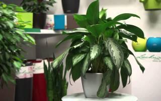 Аглаонема — цветок, ягода, энергетика растения, родина, чем полезна и опасна, фото, видео