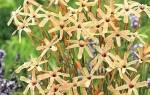Иксия метельчатая: описание вида и особенности его выращивания, видео