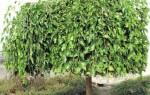 Растет ли в Сибири шелковица, сорта для холодного климата, видео