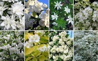Жасмин садовый — чем отличается от настоящего жасмина, сорта, видео