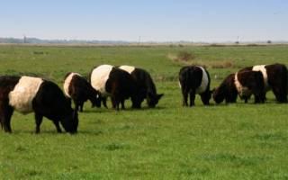 Коровы Галловейской породы — особенности разведения, кормовая база, видео