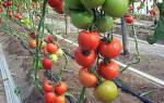 Как остановить рост индетерминантных томатов, формировка кустов