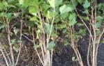 Советы когда лучше сажать кусты смородины в Подмосковье — видео