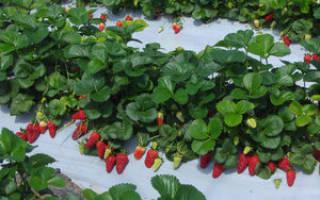 Выращивание клубники в теплице — советы, секреты, техника