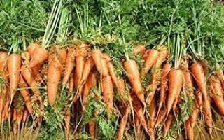 Совместимость моркови с другими огородными культурами, видео