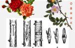 Как привить розу на шиповник почкой, пошаговая инструкция видео