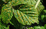 Болезни мандарина — рак, ржавчина листьев, плесень, точки, видео