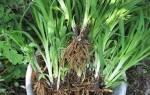 Лилейники — размножение делением куста, сроки и правила посадки, видео