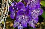 Орхидея Ванда — уход, пересадка и размножение в домашних условиях, видео