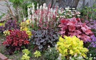 Как выращивать гейхеру в саду, описание, посадка, уход