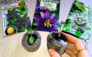 Пассифлора из семян — выращивание и уход в домашних условиях, полезные свойства и противопоказания съедобной пассифлоры, видео