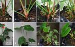 Цветок антуриум — как размножить черенками, отростками, воздушными корнями, видео