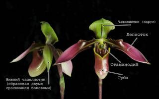 Венерин башмачок орхидея — описание, интересные факты, где растет, уход в домашних условиях, видео