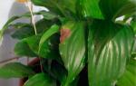 Спатифиллум — почему желтеют листья, что делать, уход, видео
