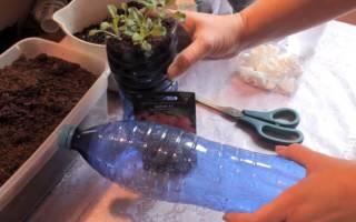 Петуния — метод выращивания без пикировки, пошаговая инструкция, видео