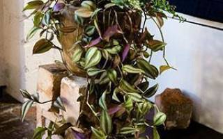 Традесканция — уход в домашних условиях за садовым и комнатным растением,выращивание и размножение, фото, видео