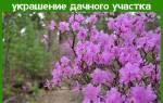 Рододендрон Даурский — описание с фото, правила посадки и ухода