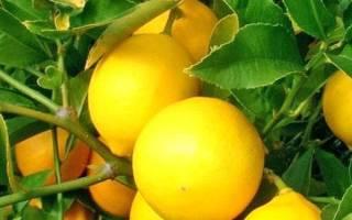 Лимон — выращивание и уход в домашних условиях, как вырастить плодоносящее растение, видео
