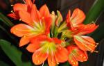 Размножение кливии семенами, этапы выращивания молодого растения, видео