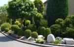 Фото самшитового дерева и его видов, пересадка растений + видео