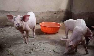 Свинарник на 2 головы — строительство своими руками, электрификация, вентиляция, навозоудаление, полы, фото, видео