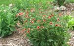 Лапчатка непальская особенности растения, посадка и уход, видео