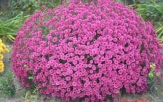 Хризантема шаровидная — зимовка в открытом грунте