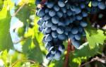 Описание болезни винограда милдью, меры борьбы, фото, видео