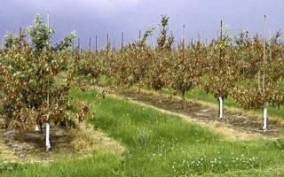 Вредители груши на листьях — борьба с тлей, листоверткой, долгоносиком, галловым клещом, видео