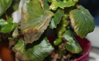 Покраснение и усыхание листьев у бегонии Коралловой, видео